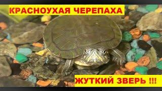 Моя домашняя красноухая черепаха, уход, кормление и содержание