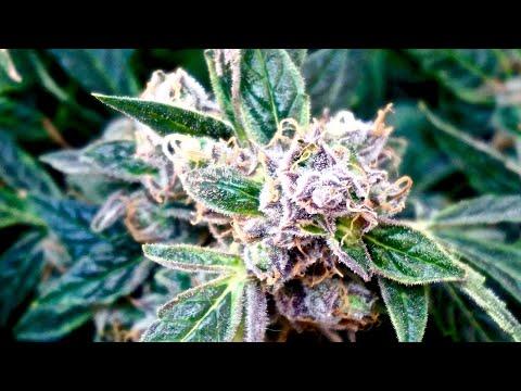 My First Harvest! || Amnesia Haze