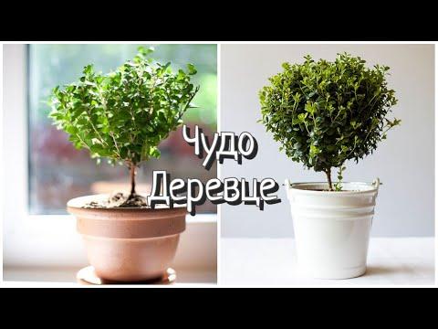 Комнатные растения /Мирсина Африканская / #Мирсина #Уход #Полив #Вредители/ Чудо деревце