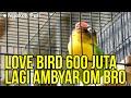 Suara Full Love Bird Lagi Ngekek  Mp3 - Mp4 Download