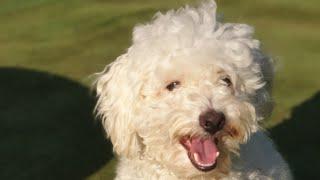Maltese Terrier Eğitimi