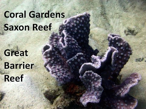 Diving the Great Barrier Reef - Coral Gardens, Saxon Reef