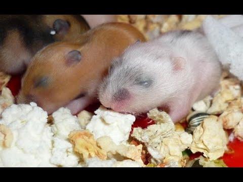 Вопрос: Как правильно кормить ручную гюрзу хомячками?