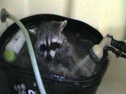 Raccoon Tahoe Taking a Bath 2 of 3