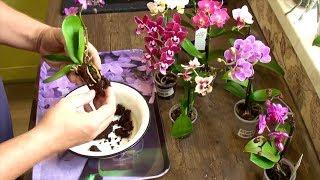 орхидеи корни наращиваю с нуля // 2 варианта // 1-й результат через 5 недель