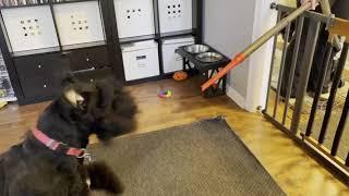 Max the Bouvier des Flandres vs. a vacuum