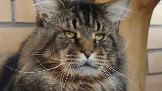 МЕЙН-КУН. Самая большая порода домашних кошек.