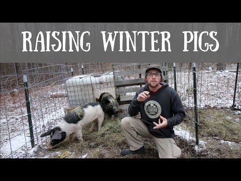 How To Raise Pigs Outside In The Winter
