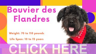 Dogs: Bouvier des Flandres Breed Information And Personality