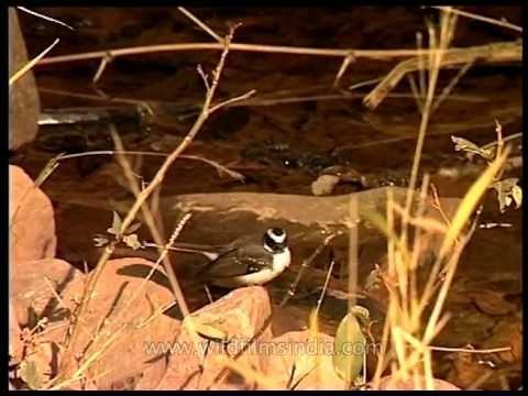 White-browed Fantail Flycatcher