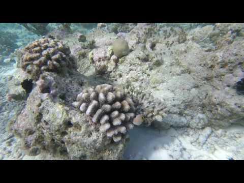 poisson globe Maldives 2016