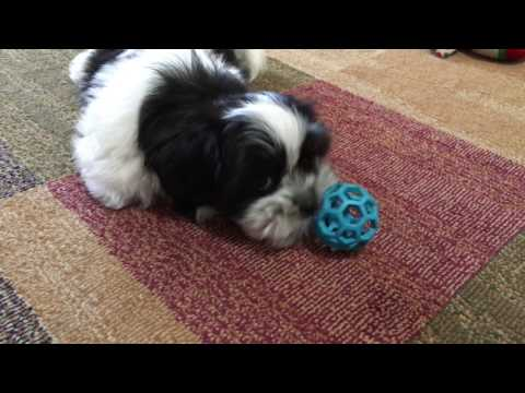 Beautiful Black And White Malshi Pup For Sale In Ocala Florida