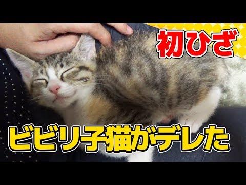 【猫】ビビリな子猫がはじめて膝上で甘えてくれた日:4日目②【kitten】
