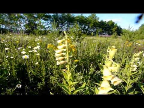 Зверобой: лечебные свойства травы, рецепты применения