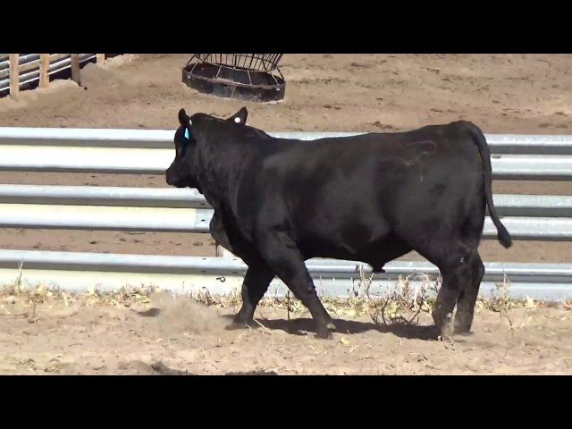 Connealy Angus Lot 18