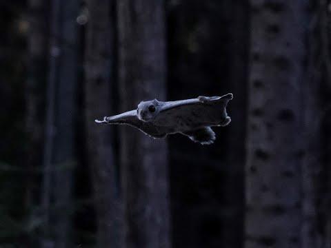 """""""Kohtalona liito-orava"""" -"""