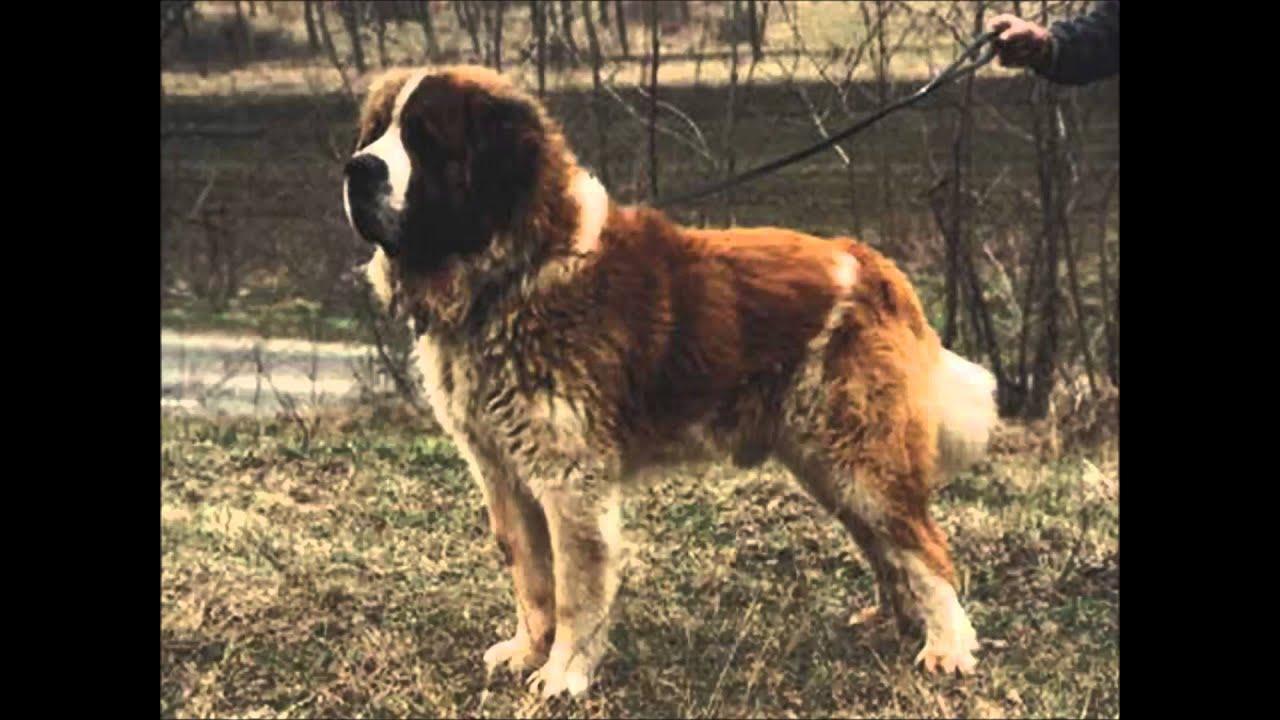 Family Guardian Dog Breeds