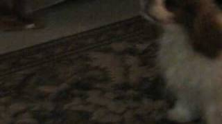 Cavalier King Charles Spaniel Happy Dance