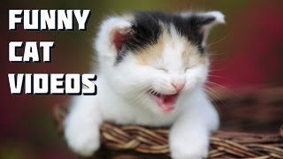 Maine Coon cat video - Funny Maine Coon cats and kittens playing