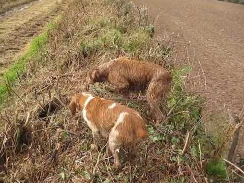 Brittany Gun Dogs Hunting Pheasant