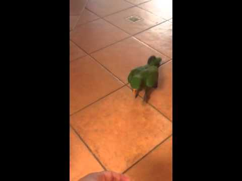 Recall training , baby Eclectus parrot