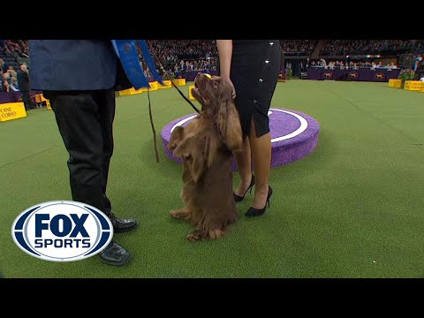 Bean the Sussex Spaniel wins the Sporting Group | WESTMINSTER DOG SHOW (2018) | FOX SPORTS