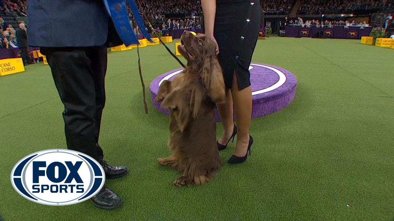 Westminster Dog Show  Tv Youtube