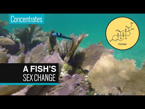 The Chemistry Behind A Fish's Sex Change