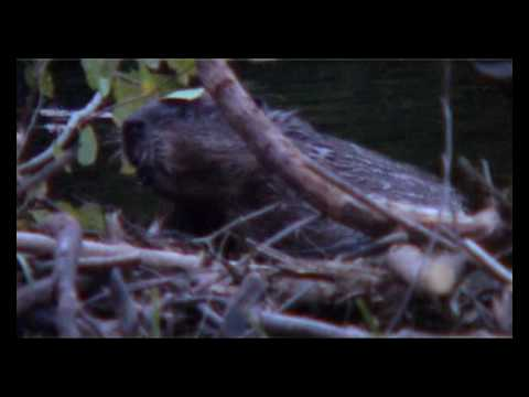 DESTINATION QUEBEC - Bear & Beaver watching in La Mauricie NP