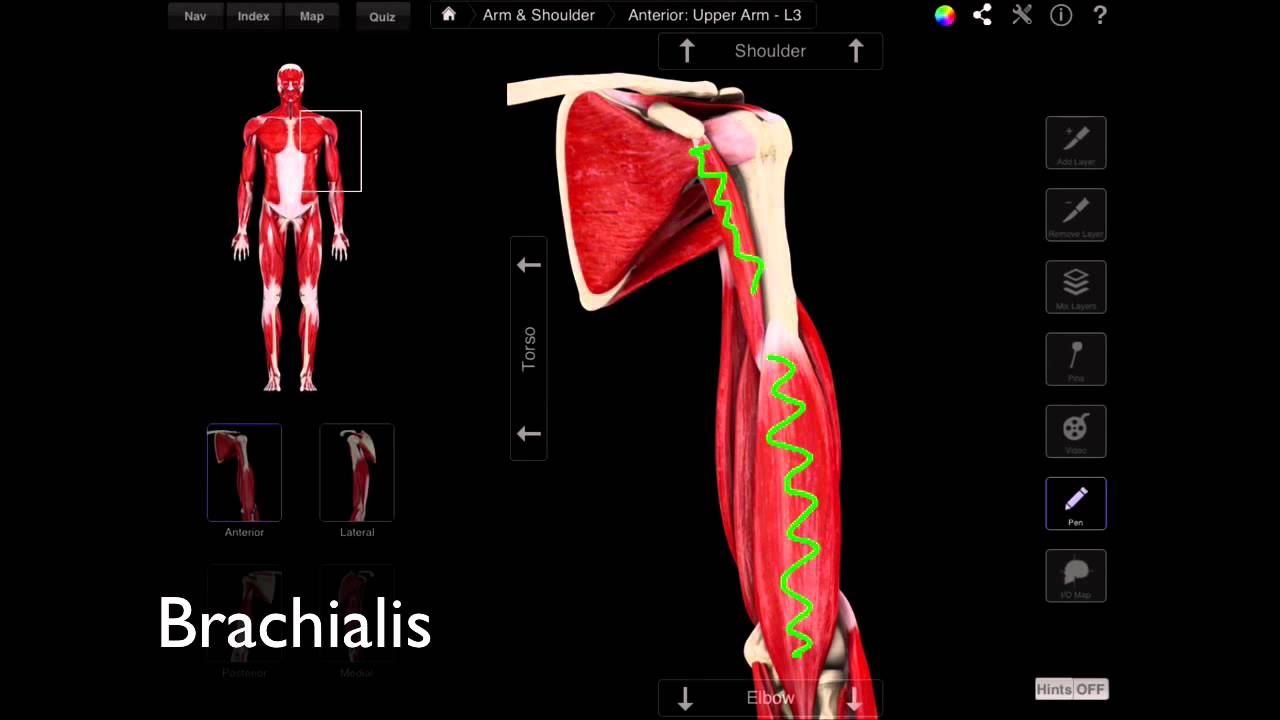 101 The Anterior Compartment Of The Arm - YouTube