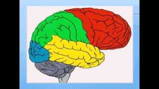 Головной мозг человека большие полушария