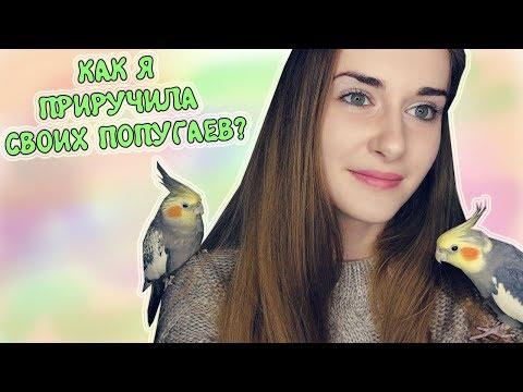 Вопрос: Как приручить взрослого, купленного в магазине попугая?