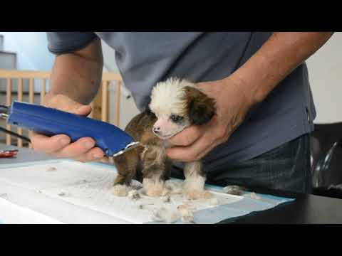 MythicKingdom micro sized super hairy hairles Chinese Crested puppy getting first body grooming at 8