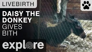 Daisy the Donkey Gives Birth - Live Cam Highlight thumbnail