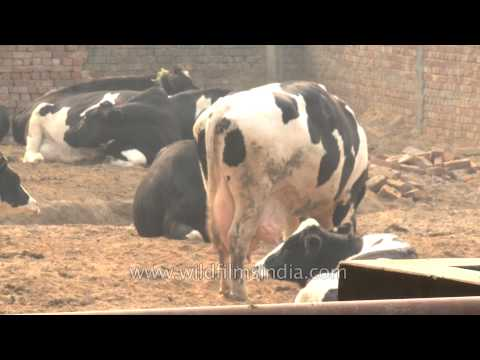 Dairy farm in Punjab