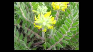 видео Астрагал шерстистоцветковый