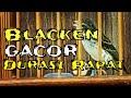 Blacken Gacor Durasi Rapat Cocok Untuk Masteran Kacer Murai Batu Cucak Hijau  Mp3 - Mp4 Download