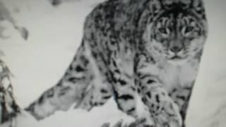 Леопарды!