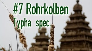 Outdoor Survival Doku feat. Waldhandwerk: Essbare Pflanzen Dirty Dozen: Rohrkolben Typha spec.