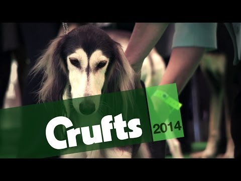 From BoB to Arena | Saluki | Crufts 2014