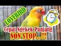 Cara Agar Burung Lovebird Cepat Ngekek Gacor Non Stop Kicau Q  Mp3 - Mp4 Download