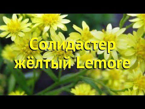 Солидастер желтый Леморе. Краткий обзор, описание характеристик solidaster luteus lemore Lemore