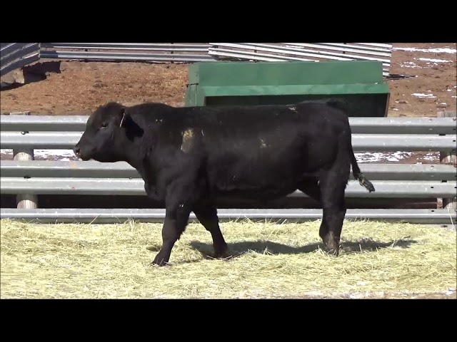 Connealy Angus Lot 493