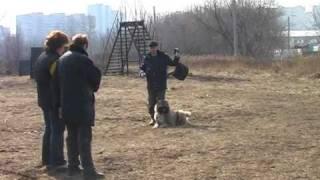 Кавказская овчарка. Наш экзамен по ОКД