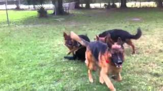 Florida Dog Academy - High Quality Adult German Shepherds For Sale!! (eiko)