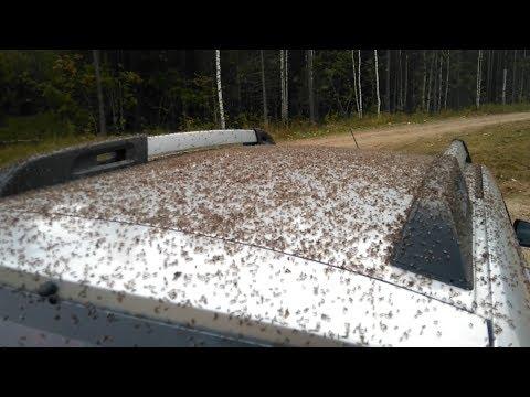 Поездка за грибами. Жесть! Автомобиль атакован полчищами лосиных мух (оленьих кровососок).