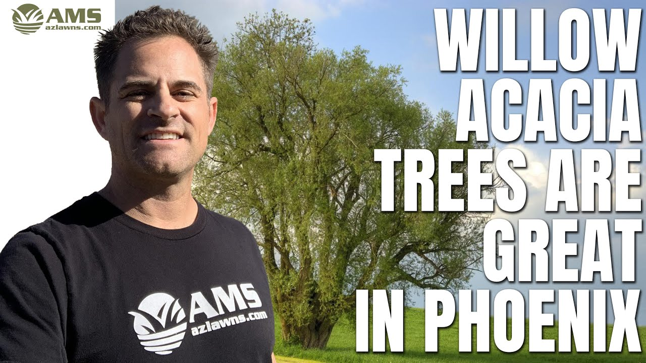 Why Willow Acacia Trees Are Great In Phoenix Climate Youtube