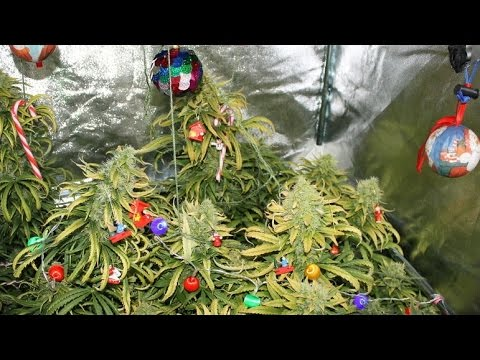 Weed Christmas Tree Found in Police Raid