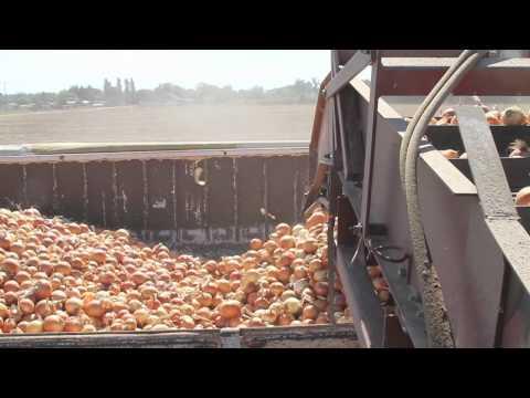 Idaho Onion Harvest