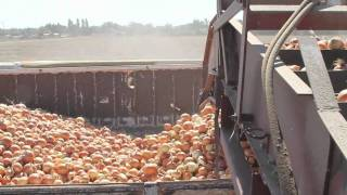 Idaho Onion Harvest